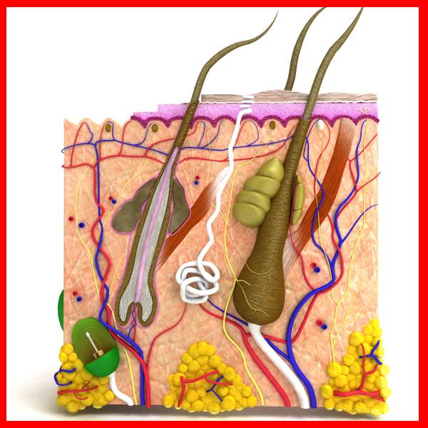 3d model skin hair anatomy -