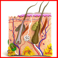 Skin and Hair Anatomy - High Detailed.