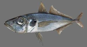 horse mackerel 3d model