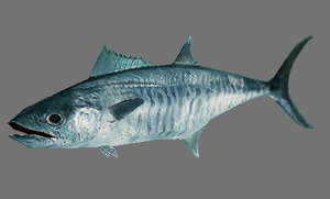 maya spanish mackerel scomberomorus
