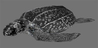 leatherback sea turtle 3d model