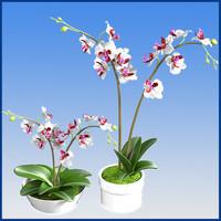 phaleenopsis orchids 3d model