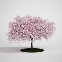 sour cherry prunus 3d model