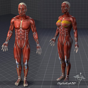 human male female muscular 3d model
