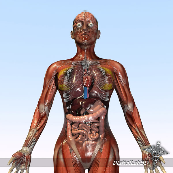 Female Anatomy - Rigged