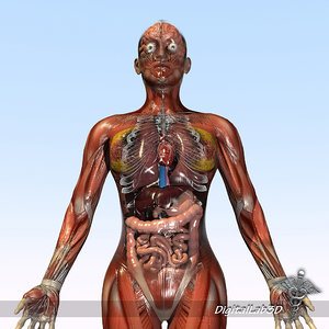 3d model of rigged - human female