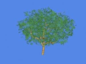 maya apple tree
