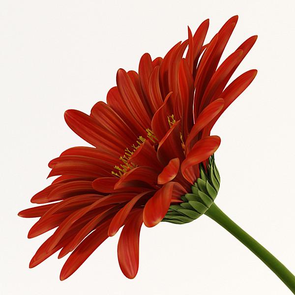 3d model of red gerbera