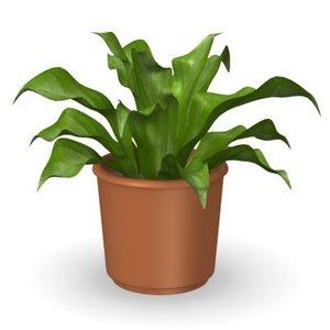 plant asplenium 3d model