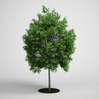 3d small-leaved lime tilia model