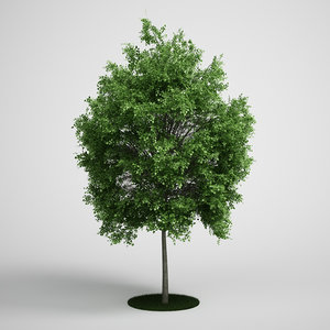 3d small-leaved lime tilia model