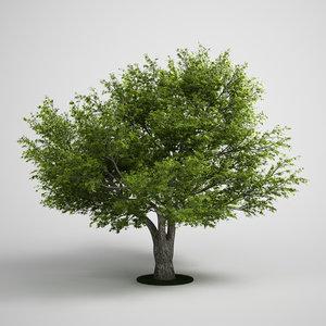 willow salix fragilis 3d model