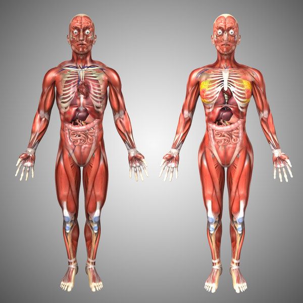 human male female anatomy 3d model