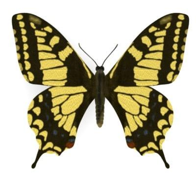 butterfly papilio machalo 3d model
