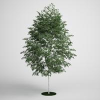 silver birch 3d model