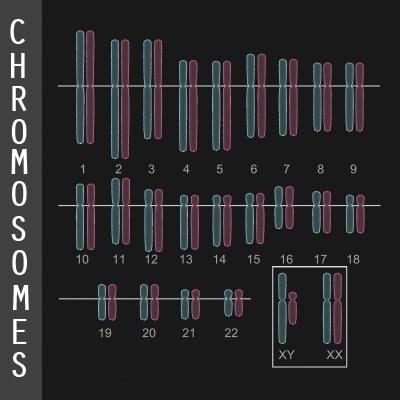 human chromosome diagram 3d model