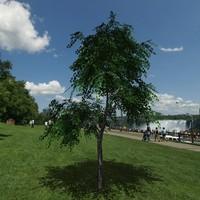 Birch tree # 4