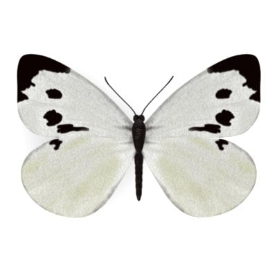 butterfly pieris brassicae 3d model