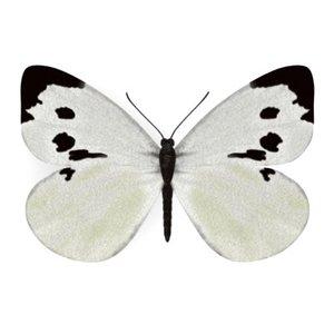 butterfly pieris brassicae 3d model