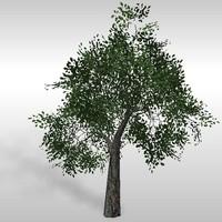 Oak tree # 6