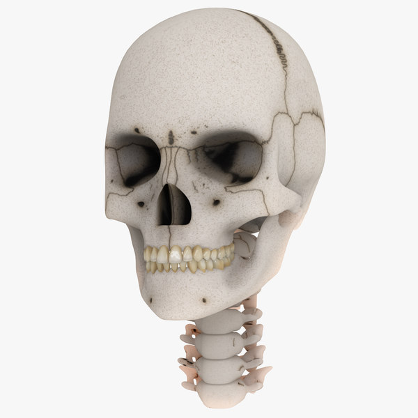 anatomical skull 3d model