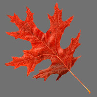 Scarlet oak leaf red