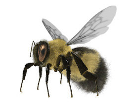 3d model bumble bombus rigged