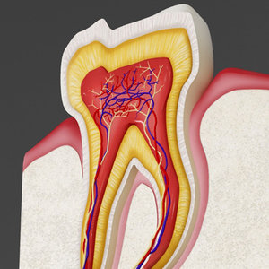 3d human tooth cross section
