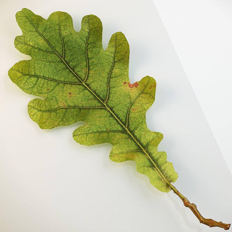autumn leaf oak 3d c4d