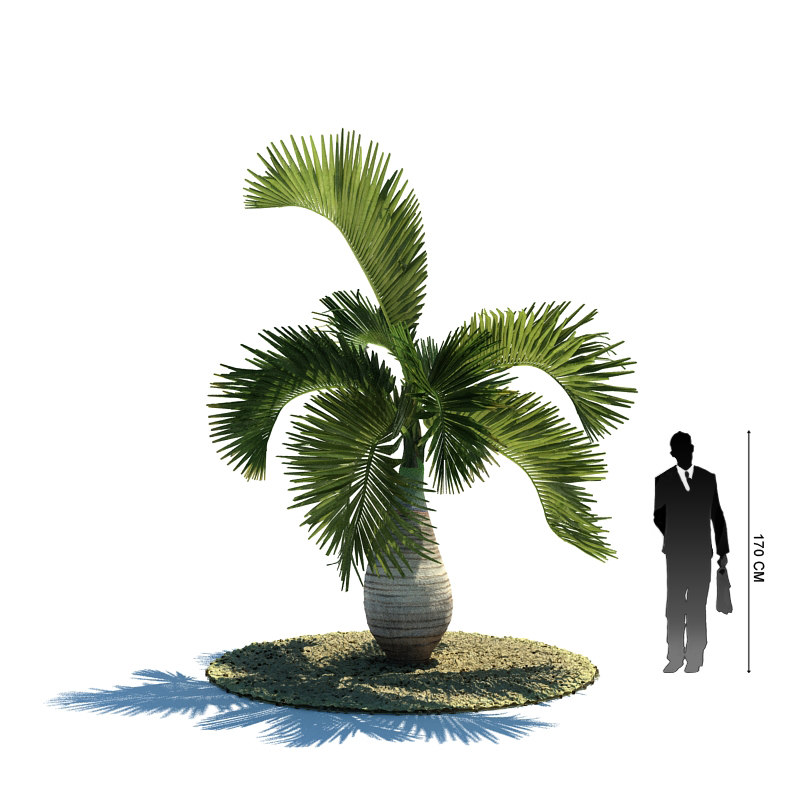 exotic tree hyophorbe lagenicaulis 3d 3ds