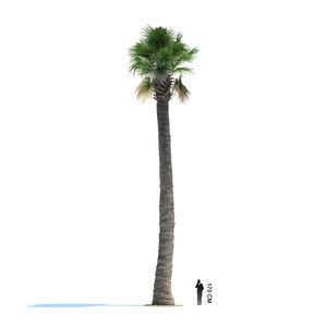 3d exotic tree washingtonia filifera