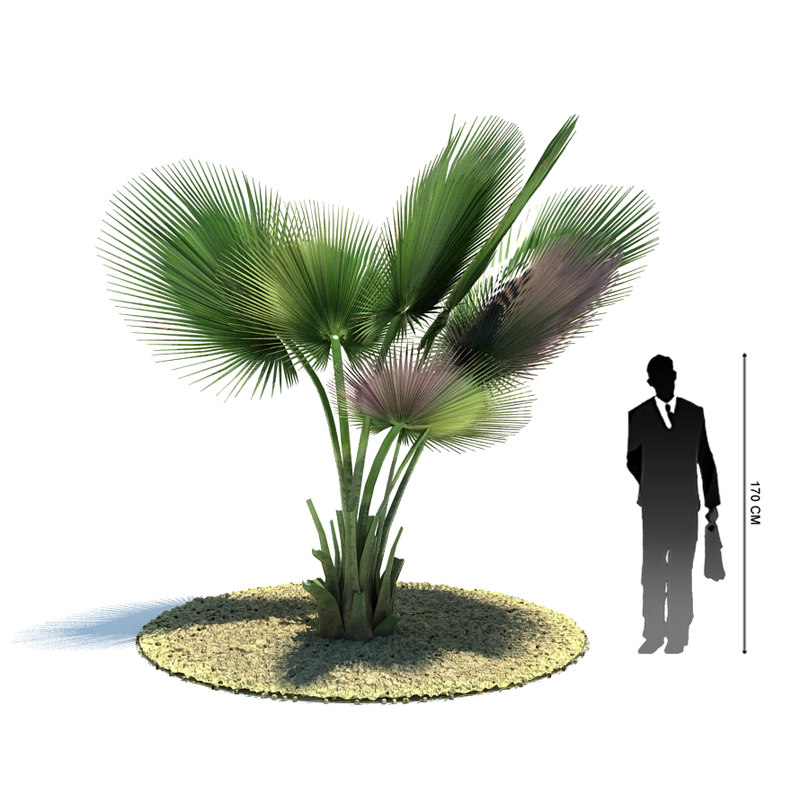 exotic tree copernicia baileyana 3d 3ds