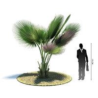 exotic tree copernicia baileyana 3d 3ds