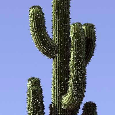 3d saguaro cactus
