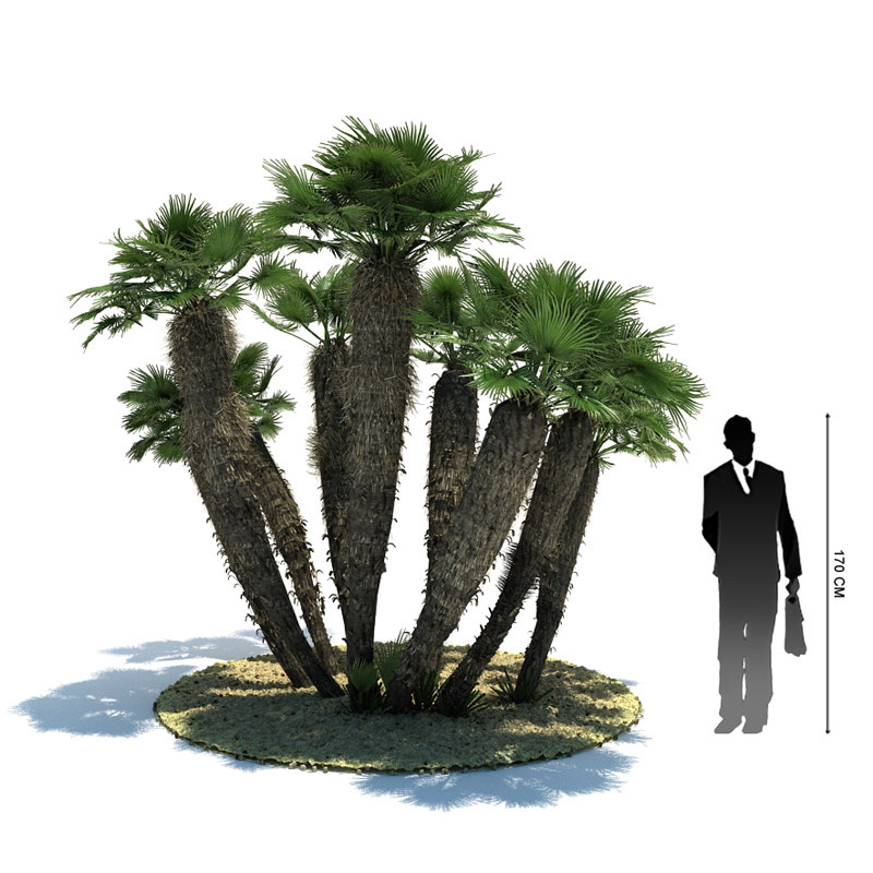 3d exotic tree chamaerops humilis model