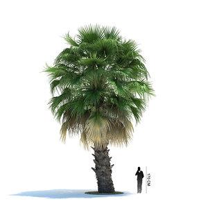 3ds max exotic tree washingtonia filifera