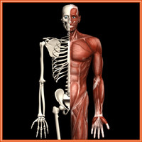 3d proportional skeleton muscle model