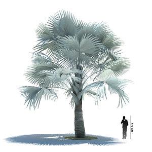 exotic tree bismarckia nobilis 3ds