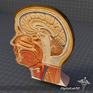 human head anatomy body 3ds