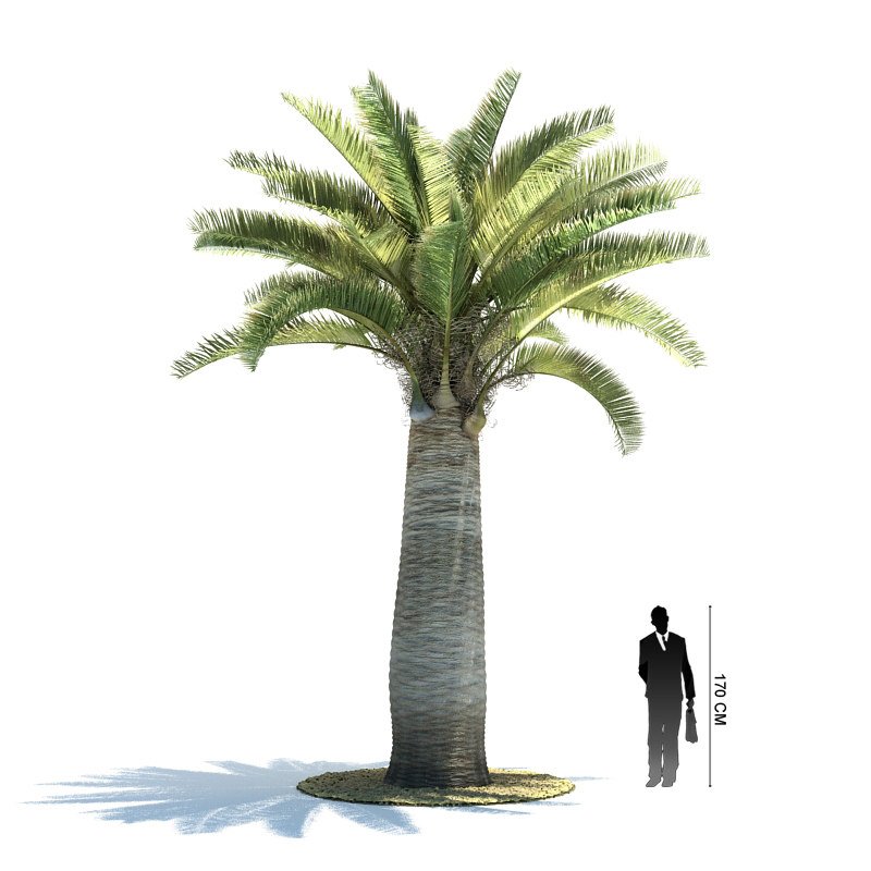 exotic tree jubaea chilensis 3d model