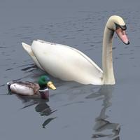 swan duck animal