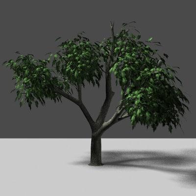 maya tree natural