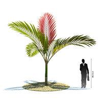 3d exotic tree chambeyronia macrocarpa model