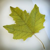 3d model autumn leaf poplar