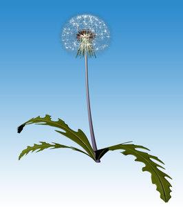 maya dandelion