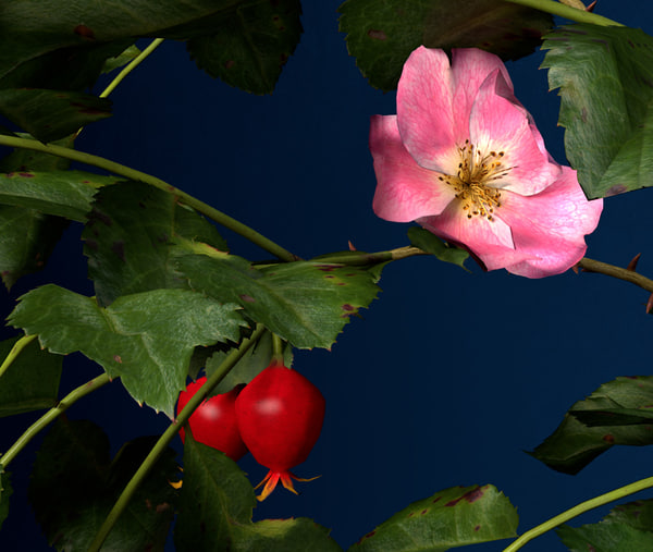 obj dog rose