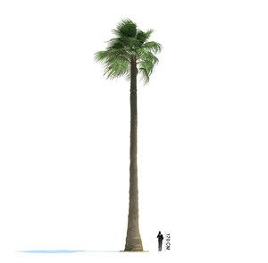 exotic tree washingtonia filifera 3ds