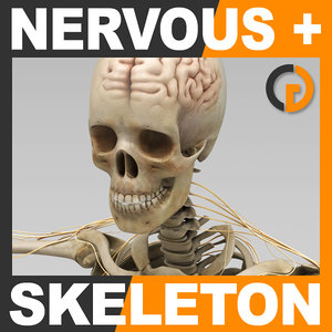 human nervous skeleton skull 3d model