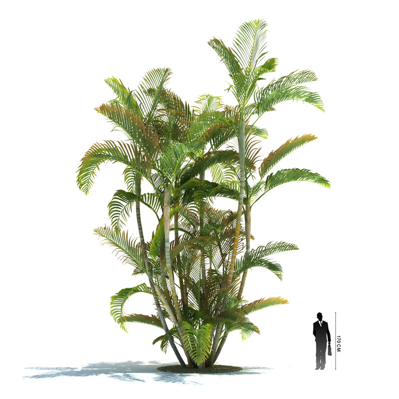 3ds exotic tree dypsis lutescens