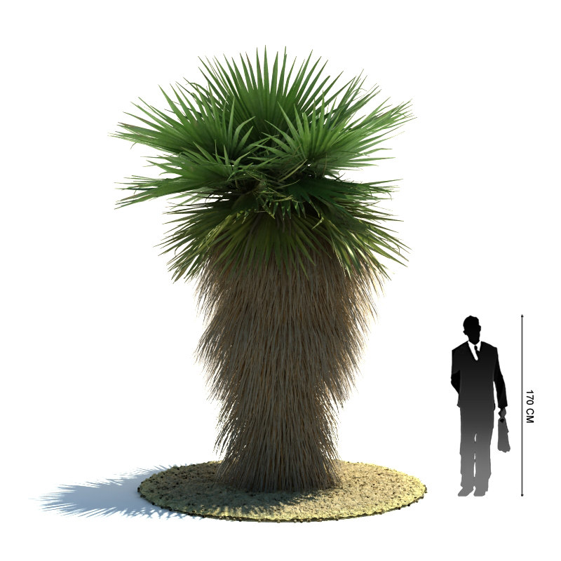 3d model exotic tree washingtonia filifera